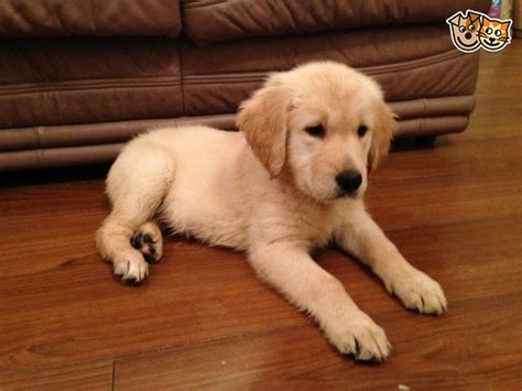 golden retriever puppies for sale in hshire golden retriever puppies crewe cheshire pets4homes