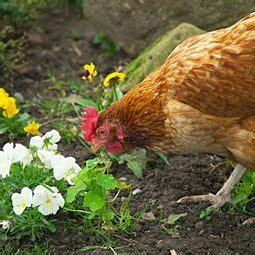 red hen chickens backyard chicken breeds chickens