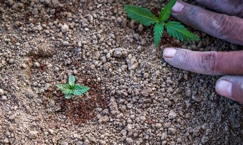 cannabis nutrient schedule  soil growing learn growing