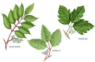 Florida Green Home Design Group The Facts About Poison Ivy Engledow Group