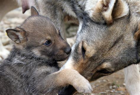 washington authorizes killing wolf pack  ferry county