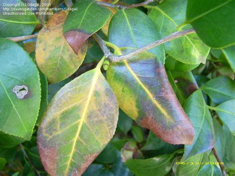 garden pests and diseases what s wrong with my camellia leaves 1 by gitagal