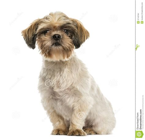 shih tzu sitting shih tzu sitting looking at the isolated stock images image 37142184