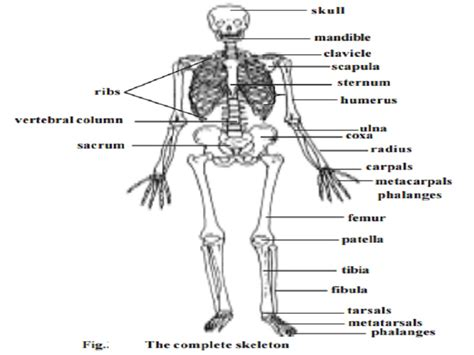 anatomy and physiology coloring workbook answers page 108 skeletal system coloring book answers coloring page
