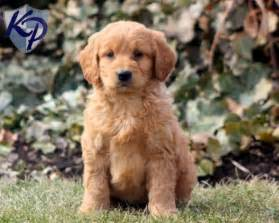 mini goldendoodles washington dc 101 best cutest mini goldendoodle images on