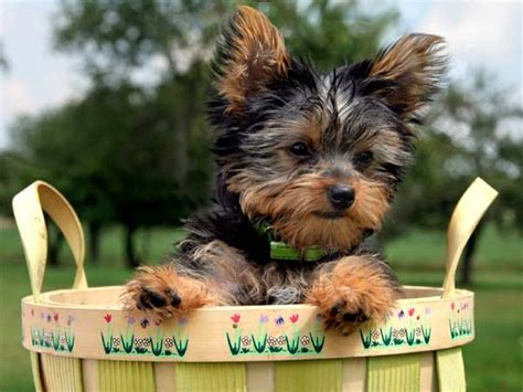 facts about yorkie miniature terrier facts about terriers