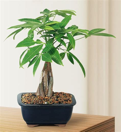 desk plants brent lecompte blog 25 office plants that fit on your desk