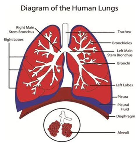 lung cancer diagram lungs diagram lungs diagram gif projects to try
