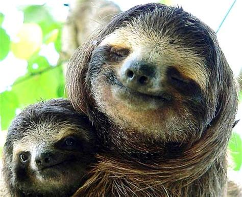 sloth going to the bathroom life in slow motion the three toed sloth questionable