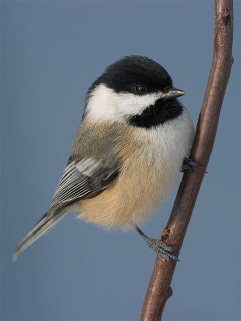 hump day bird happenings 3 26 14 when a chickadee was