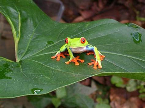 imagenes ironicas de la rana fotos de ranas