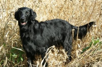 flat haired golden retriever flat coated retriever breed information on flat coated retrievers