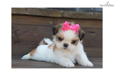 shih tzu breeders in arkansas saphra shih tzu puppy for sale near rock arkansas a17407c0 6811