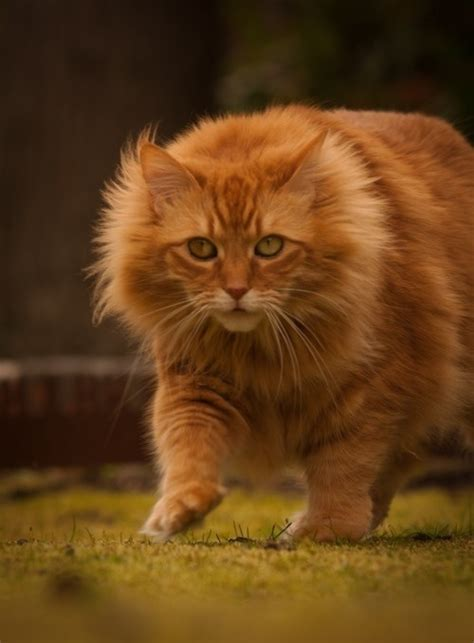 Qiara Soo Orange Hair Care 17 best images about maine coon i so want one of these on