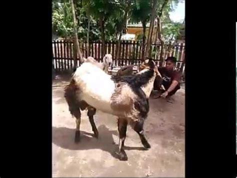 kambing terbesar  dunia youtube