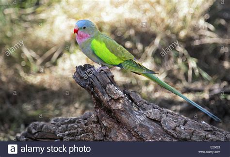 Princess Parrot princess parrot polytelis alexandrae perched on