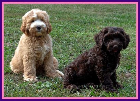 labradoodle puppies for sale in ga 17 best ideas about labradoodle puppies on golden doodles australian