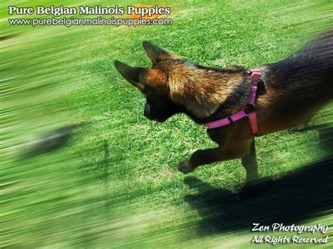 puppies for sale usa belgian malinois breeders puppies for sale in los angeles california usa