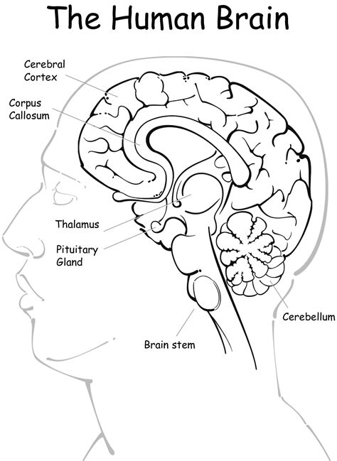 coloring page brain free and the brain coloring pages