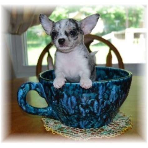teacup puppies for sale chicago teacup chihuahua puppies for sale in chicago illinois photo breeds picture