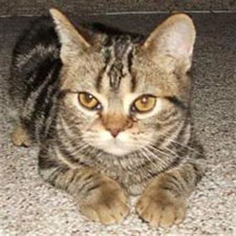 American Shorthair Information, Pictures of American