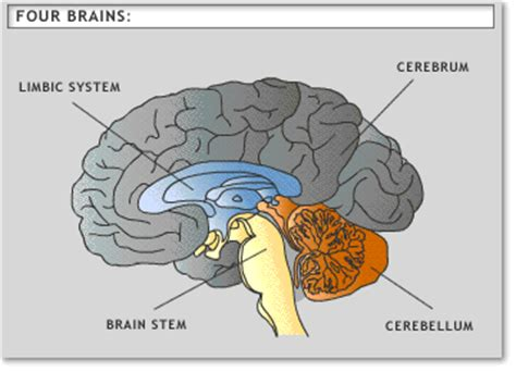 What Are The Four Sections Of The Brain by How To Be An Etutor