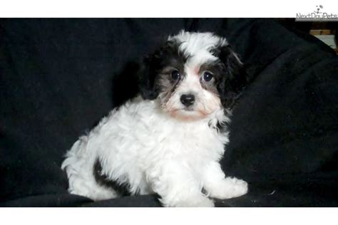 puppies for sale flint mi dogs and puppies for sale and adoption oodle marketplace