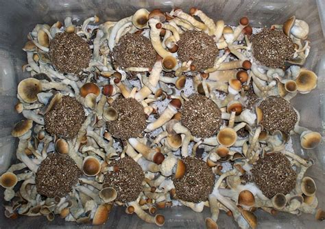 shroomery grow guide envy on brf cakes cultivation shroomery message board