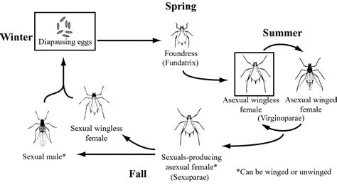 cycle of aphids diagram aphid cycle diagram www pixshark images