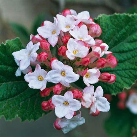 beautiful flowering shrubs the most beautiful flowering shrubs