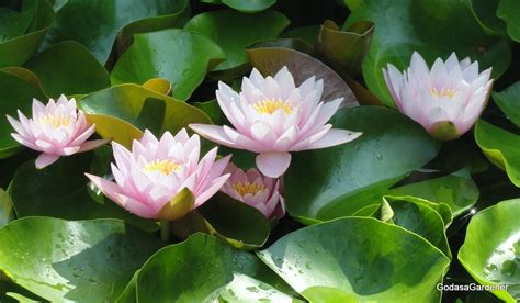 Cool Planters Bring Knowledge Amp Prosperity By Keeping Lotus Plant At