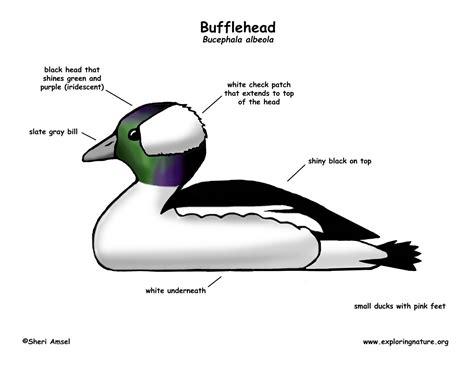 duck diagram duck bufflehead