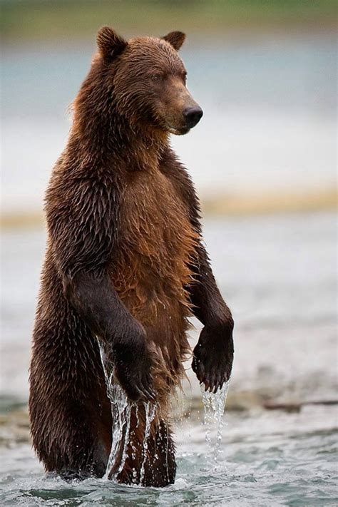 coastal brown bear standing in a stream photograph at