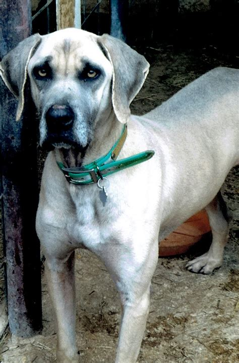 what is a cur what is a cur breed breed dogs spinningpetsyarn