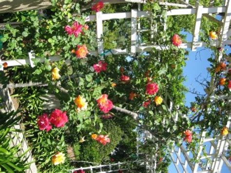climbing rose bushes climbing roses care of climbing roses