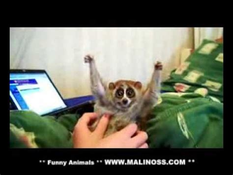 slow loris loves getting tickled http bit ly 14qlq8x
