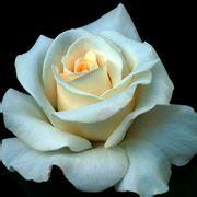 fiori simbologia significato bucaneve significato dei fiori il