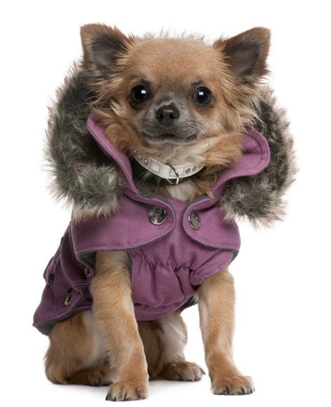puppy coats chihuahua