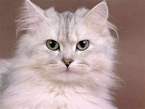 wallpaper cats free free cat wallpaper cute cat pictures animal desktop