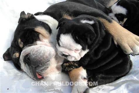 black bulldog puppies for sale gray bulldogs for sale breeds picture