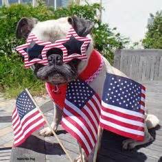 matti the pug 1000 images about pugs on pug veterans day thank you and pug