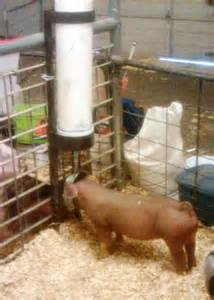 Making a hog waterer from pvc pipe the making of a home