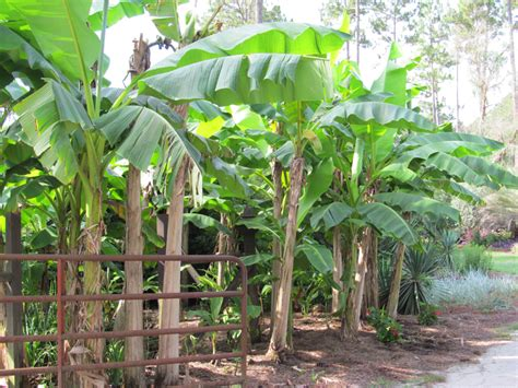 Self Pollinating Dwarf Fruit Trees - dwarf orinoco banana tree