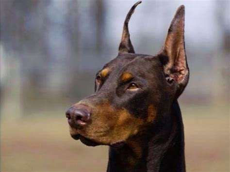 doberman puppies for sale in iowa doberman pinschers puppies