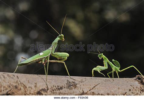praying mantis colors praying mantis in india stock photos praying mantis in