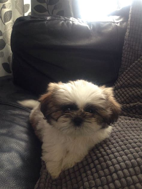 shih tzu for adoption uk shih tzu for sale birmingham west midlands pets4homes