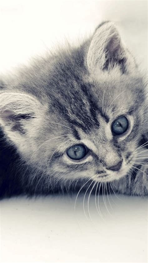 grey kitten wallpaper 60 cute animals iphone wallpapers you would love to download