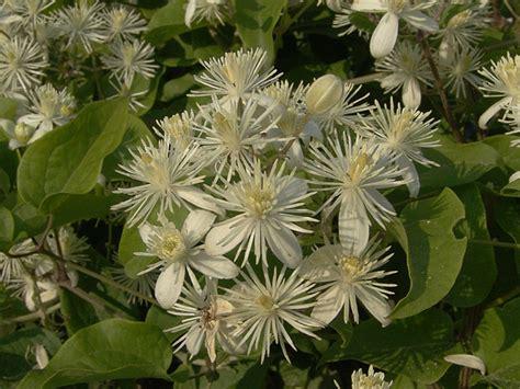 clematis fiore di bach clematis fiori di bach