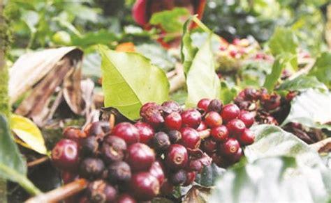 Sentra Kopi produksi kopi sentra pengembangan pupuan merosot bali