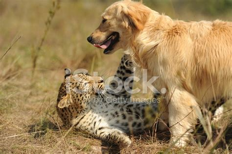 golden retriever friendly friendly leopard and a golden retriever stock photos freeimages